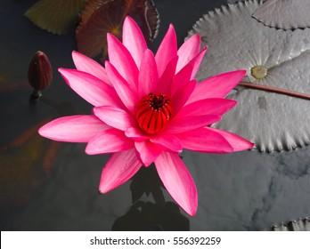 Red Lotus Flower Images Stock Photos Vectors Shutterstock