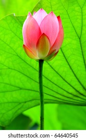 a red lotus flower bud against green foliage