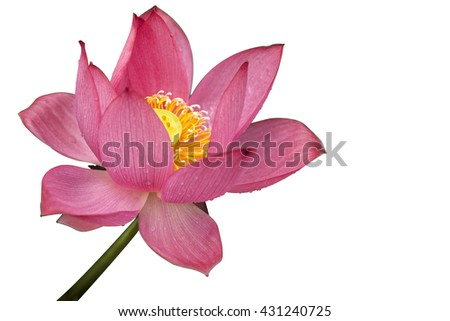 Red Lotus Flower Compound Petals Fresh Stock Photo Edit Now