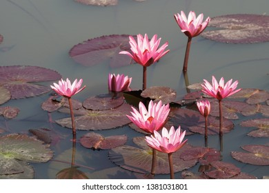 Red lotus flower or water lily in the pond, Nymphaea lotus
