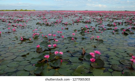 Red lotus or Nymphaea lotus at sunrise in  Nong han lake, Udon Thani, Unseen Thailand.