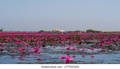 Red lotus sea in Udonthani,Thailand.