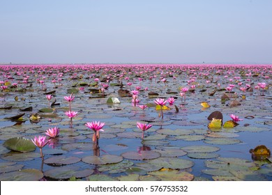 Red lotus sea in Undon Thani, Thailand. Unseen in Thailand