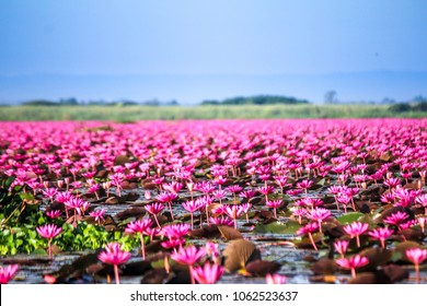 Red Lotus sea(Nong Han Lake) beautiful nature landscape in the morning with fog blurred background in the bright day with clear blue sky background, Thailand, lotus, red lotus sea, Udon Thani