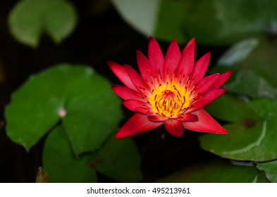 Red Lotus in Thailand, planted front yard.Beautiful background