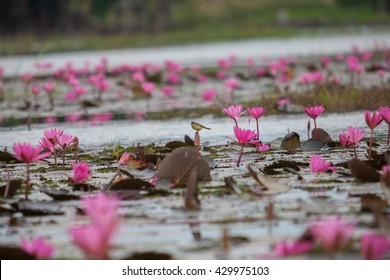 Red Lotus, Thailand, lotus, red lotus sea, Udon Thani, the morning sea of red lotus.