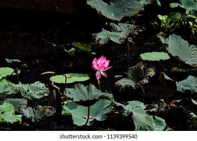 Red Lotus in the water