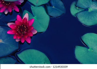 red lotus water lily blooming on water surface, purity nature background, aquatic plant, symbol of buddhism.