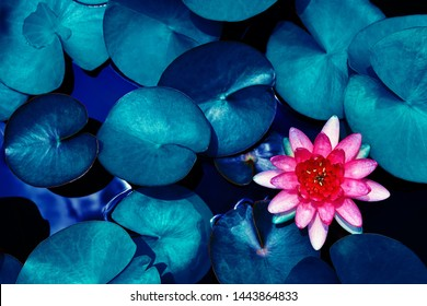 red lotus water lily blooming on water surface and dark blue leaves toned, purity nature background, aquatic plant, symbol of buddhism