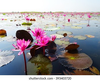 Red lotuses bloom during season in the famous red lotus Lake in Udon Thani, Thailand.