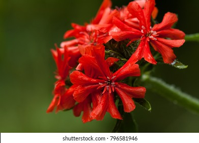 red lychnis in garden close up