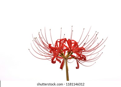 Red lycoris flower