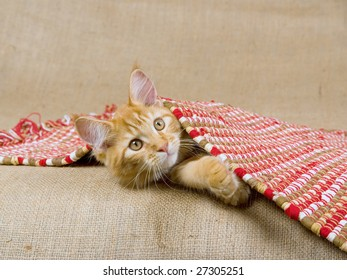 Red lynx Maine Coon kitten lying under red woven rug on hessian burlap background