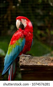 Red Macaw in Captivity
