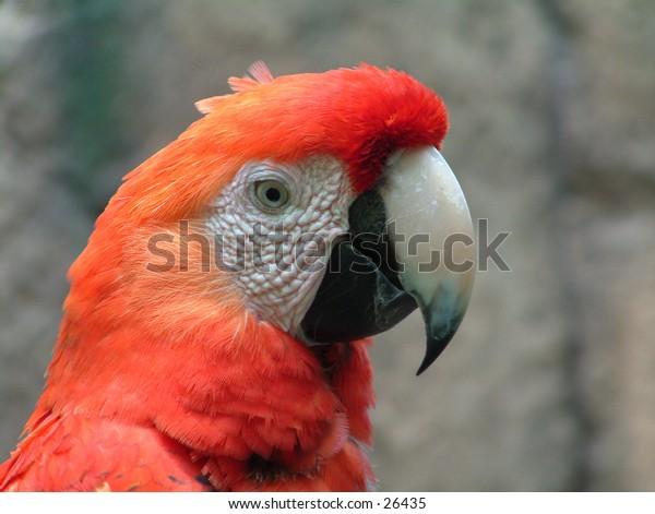 Red macaw closeup