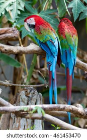 Red Macaw, Green-winged macaw, green wing macaw.