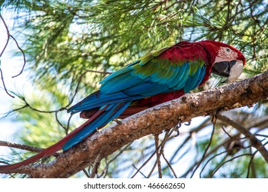 Red Macaw on Tree