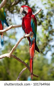 Red Macaw perched on a tree branch.