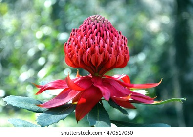 Red and magenta flower head of a native Australian protea, the Waratah (Telopea speciosissima), in the Australian bush. New South Wales State floral emblem.