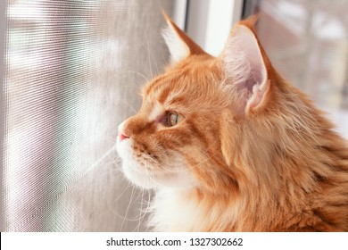 Red Maine Coon Kitten Looking Out of Window Mosquito net. Close up.