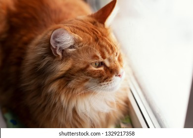 Red Maine Coon Kitten Looking Out of Window. Close up.