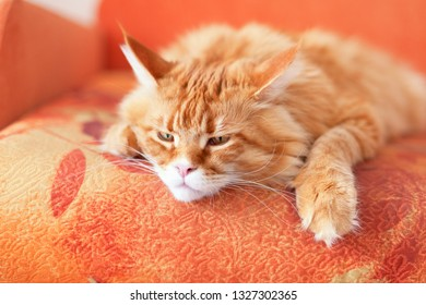 Red Maine Coon Kitten Lying on the Couch. Close up.