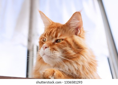 Red Maine Coon Kitten sitting on table. Close up.