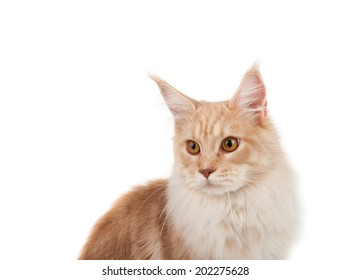 Red maine coon portrait on a white background
