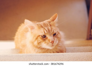 Red Maine Coon sitting on the stairs