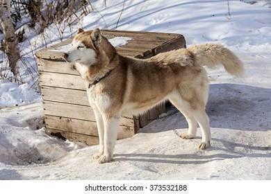 red Malamute  in nursery for dogs in winter