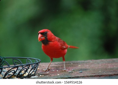 Red Male Cardinal Eating Seeds