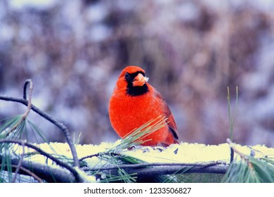 A red male cardinal sitting on a porch eating birdseed in a winter landscape,