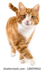 red male cat, walking towards camera, isolated in white