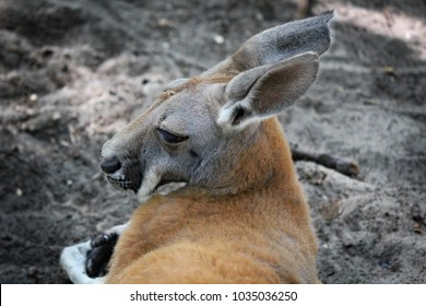 Red Male Kangaroo Resting in the Shade