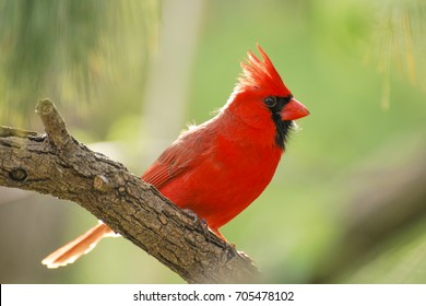 Red Male Northern Cardinal Isolated Against Green Background