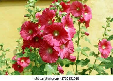 Red mallow, common hollyhock (Alkea rosea) on yellow wall background.