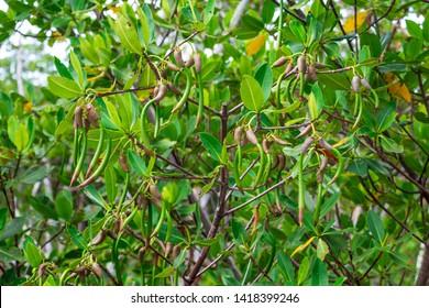 Red mangrove (Rhizophora mangle) seed pods - Anne Kolb / West Lake Park, Hollywood, Florida, USA