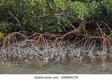 Red Mangrove trees amongst oyster beds, Indian River Lagoon, Florida