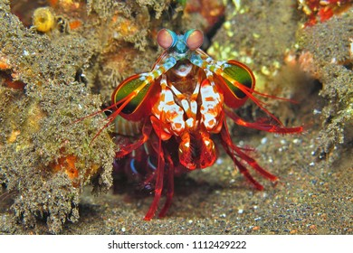 Red mantis shrimp on the tropical coral reef. Underwater animal in the exotic sea. Detail of aquatic wildlife.