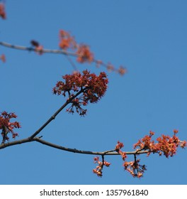 red maple blooms with blurred background and blue sky