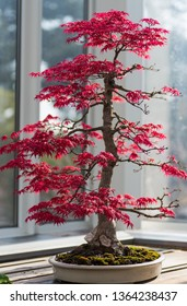Red maple bonsai tree