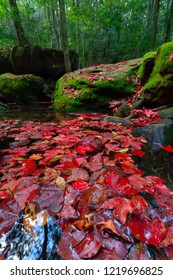 Red maple carpet on stream with green mos and forest background. Winter season at Thur yai/big cave waterfall ,Phu kradueng national park. Thailand