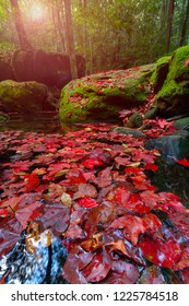 Red maple carpet on stream with green mos and forest background. Winter season at Tham yai/big cave waterfall ,Phu kradueng national park. Thailand.