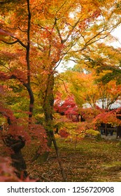 Red maple in Japan