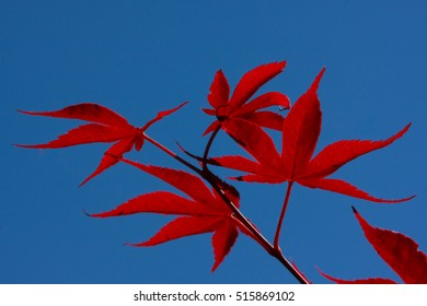 Red Maple Leaf (4)