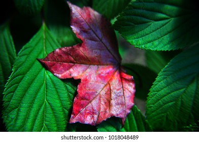red maple leaf against green leaves