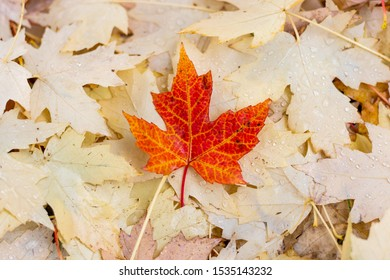 red maple leaf in atumn