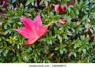 red maple leaf close-up
