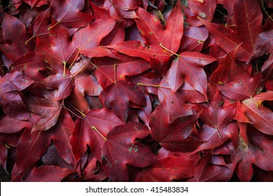 Red maple leaf fall on ground during autumn in the North of Thailand