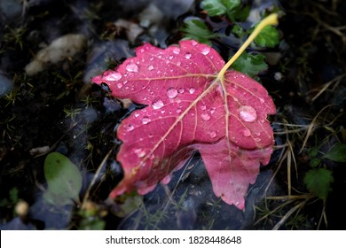 Red maple leaf floats in a puddle during the autumn rain. Rain doprs on the fallen leaf, it's bright and lonely, drowns in the darkness.